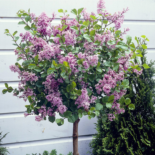 Dwarf Lilac Standard 1m Tall in 3L Pot No Colour