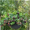 Trailing Blackberry Black Cascade 2 plants in 9cm