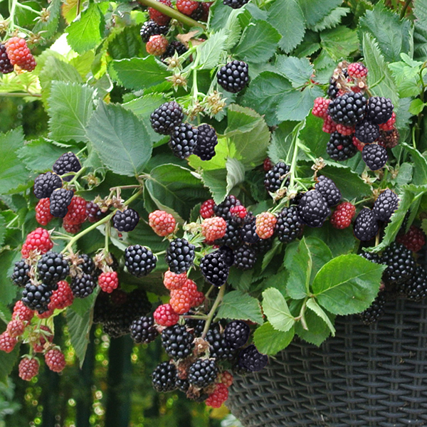Trailing Blackberry 'Black Cascade' 9cm Pots (Pair) No Colour