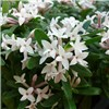 Hardy Fragrant Daphne Eternal Fragrance 9cm Pot