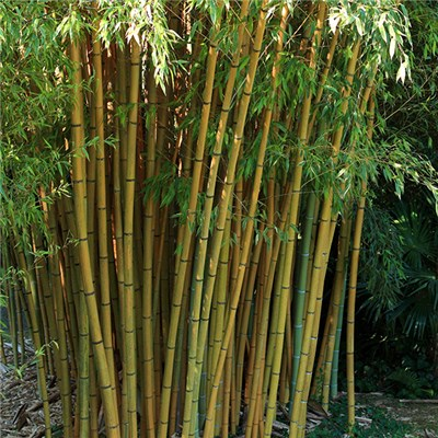 Yellow Bamboo 5L pot 1.4M tall