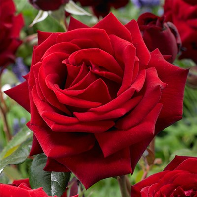 Hybrid Tea Rose 'Vibrant Red' Bare Root