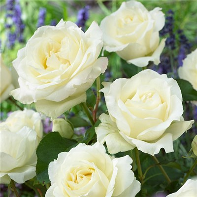 Hybrid Tea Rose 'Pure White' Bare Root