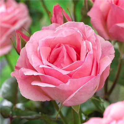 Hybrid Tea Rose 'Powder Pink' Bare Root