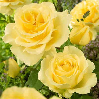 Hybrid Tea Rose 'Golden Yellow' Bare Root