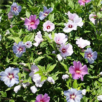 Hibiscus Tricolour bush - 3 colours in 1 3L pot