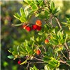 Arbutus unedo (Strawberry tree) 3L