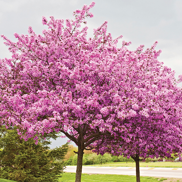 Cercis Avondale 2.5L (Redbud tree) No Colour