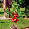 Patio Perfect Dwarf Nectarine Fruit Tree Bare Root