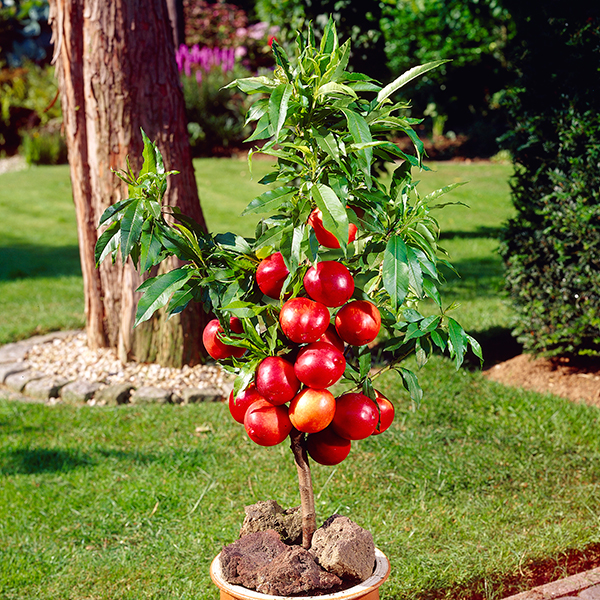 Patio Perfect Dwarf Nectarine Fruit Tree Bare Root No Colour