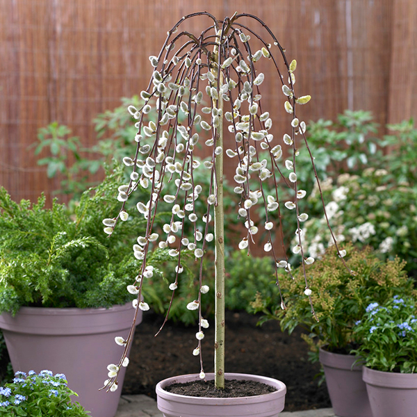 Salix 'Kilmarnock' Weeping Willow 90cm Standard No Colour
