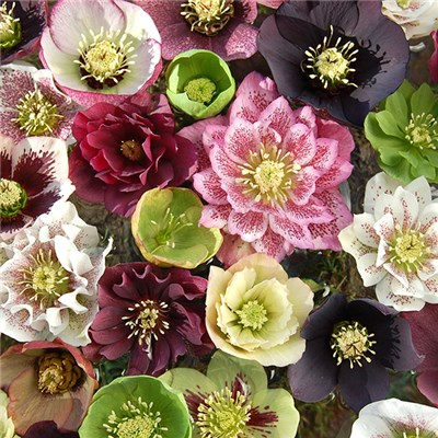 Hellebore Double Queens Mix - pack of 3 in 7cm pots