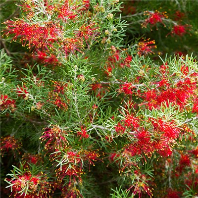 Grevillea Juniperina Spider Flower in a 2.5L Pot