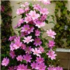 Pair of Tower Pots and 9cm Potted Pink & Blue Clematis Plants