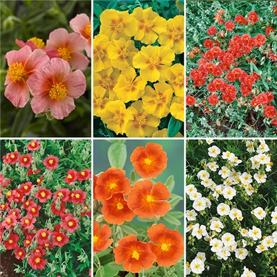 Helianthemum Rock Rose Collection x 6 Plants