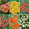 Helianthemum (Rock Rose) Collection x 6 Plants