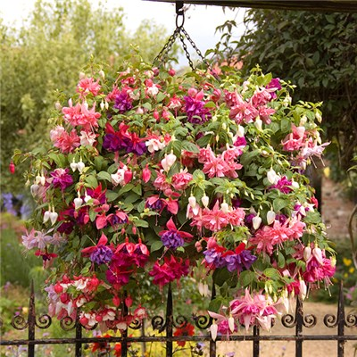 Jumbo Flowered Fuchsia Mix x 12 Plug Plants
