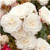 Groundcover Roses Collection 6 x 9cm Pots