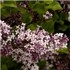 Giant Lilac Standard 1.6M (5ft 6 Inch) tall