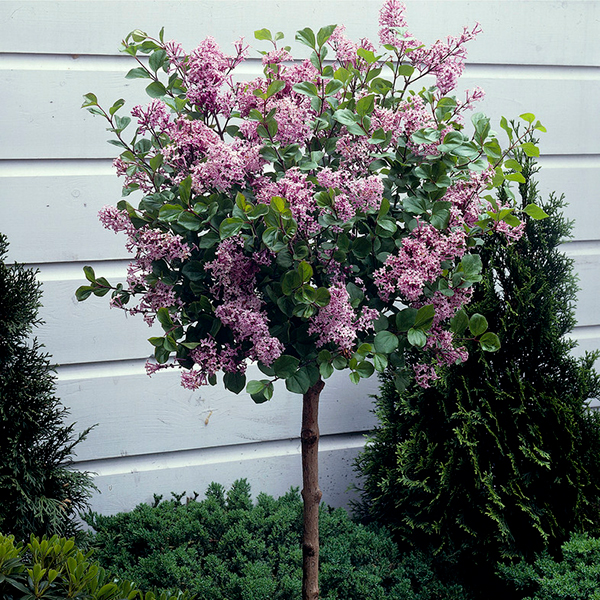 Giant Lilac Standard 1.6M (5ft 6 Inch) tall No Colour