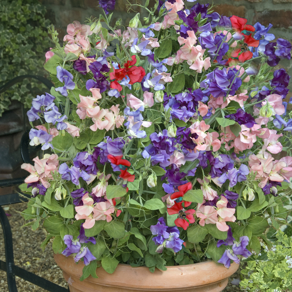 Image of 24 Patio Perfect Sweet Pea Plants in 6 net pots 402297
