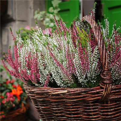 Pair of Heather Tricolour in 2L Pots