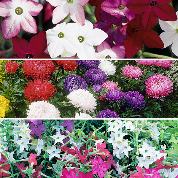 Image of 120 Classic Cottage Garden Bedding Plants - Asters, Stocks and Nicotiana 402699