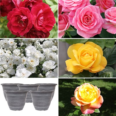 Five Garden Glamour Rose Bushes with Decorative, Metallic Planters