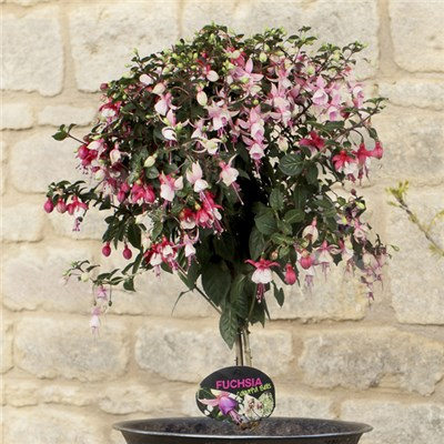Two Tone Standard Fuchsia 3L Pot