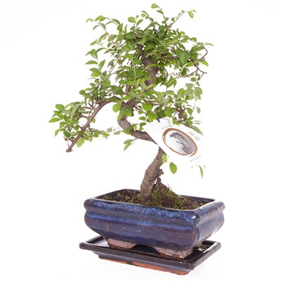 Elm Bonsai Tree with 15cm Ceramic Dish