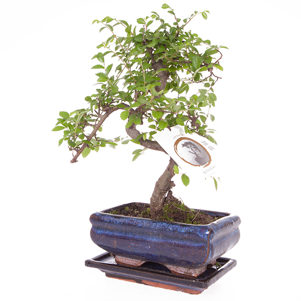elm bonsai tree with 15cm ceramic dish 403269 ideal world