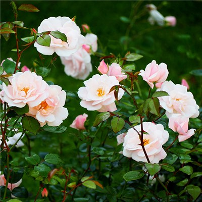Pack of 4 Mini Rambling Roses in 9cm Pots