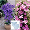 Pair of 2L Pink and Blue Patio Clematis on Trellis with Pair of Blue Serenity Planters