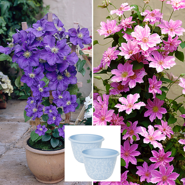 Pair of 2L Pink and Blue Patio Clematis on Trellis with Pair of Blue Serenity Planters No Colour