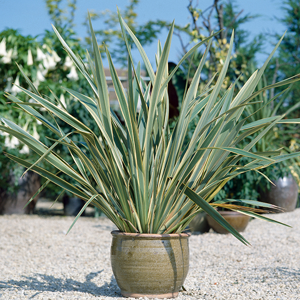 Phormium 'Tenax' Variegata 5L Pot No Colour