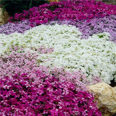 Carpet Phlox Collection Jumbo Plugs (12 Pack)