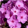 Carpet Phlox Collection 12 x Jumbo Plugs
