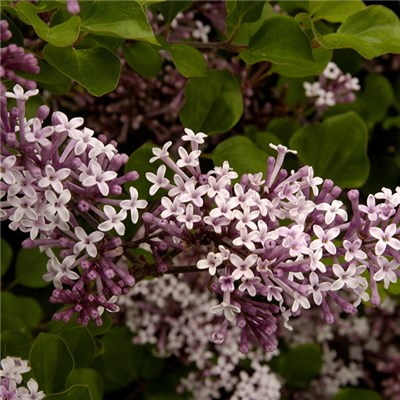 Dwarf Patio Lilac Palibin 5L Pot