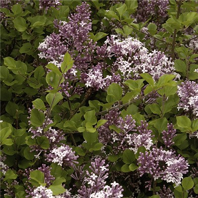 Dwarf Patio Lilac 'Palibin' 3L Pot