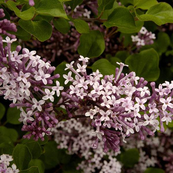Dwarf Patio Lilac Palibin 5L Pot No Colour