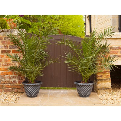 Pair of 1.2M Phoenix Palms plus Pair 13 Inch Large Pinecone Planters