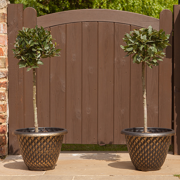 Pair Bay Tree Standards 90cm & Pair Pinecone Gold planters No Colour