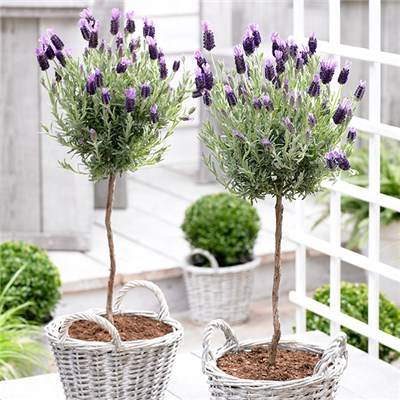 Pair French Lavender Mini Standards 15cm Pot