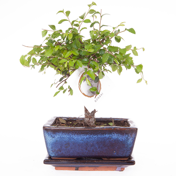 Elm Tree Bonsai 5 Years Old with 15cm Ceramic Dish No Colour