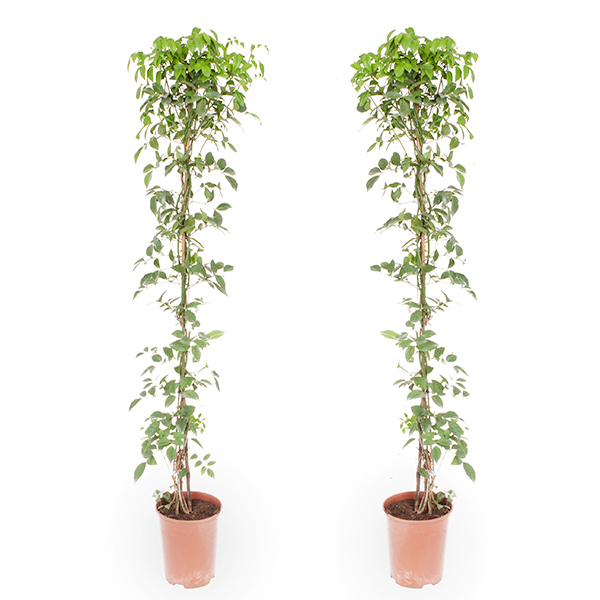 Pair of Pandorea Wonga Wonga Vines 1.4m Tall in 3L Pots No Colour