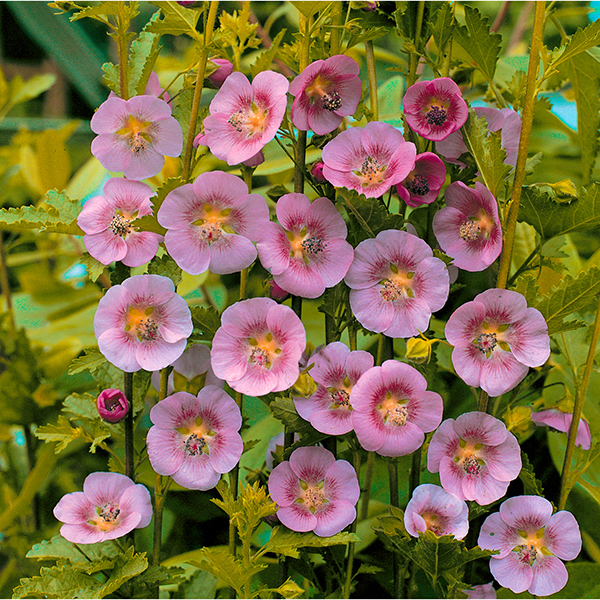 Anisodontea (Cape Mallow) Pink 20cm pot No Colour