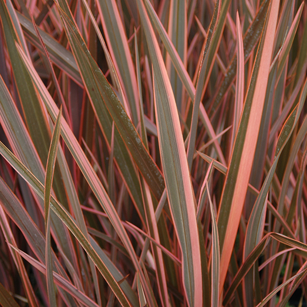 Phormium Sundowner Pink 5L pot No Colour