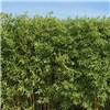 Green Bamboo (Phyllostachys bisettii) 2L