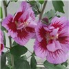 Pair of White & Purple Hibiscus Pillars 2 x 9cm Pots