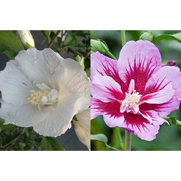 Pair of White and Purple Hibiscus Pillars 2 x 9cm Pots No Colour